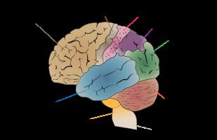 Wikipedia-Cerebrum_lobes
